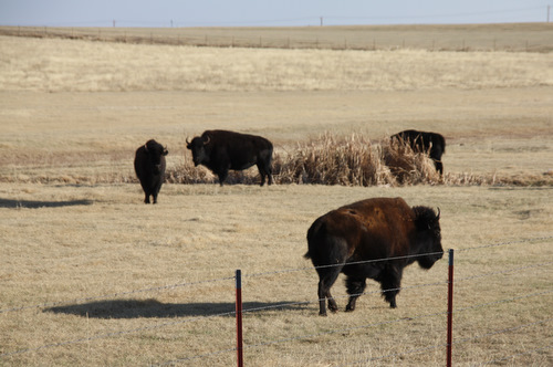 Buffalo have come back to the prairie range in Oklahoma