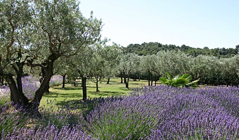 Lavender Field and Olive Trees in Provence